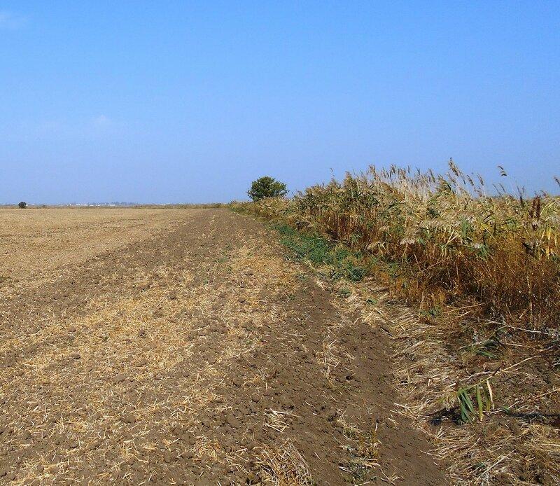 Камыш у поля ... DSCN1373.JPG