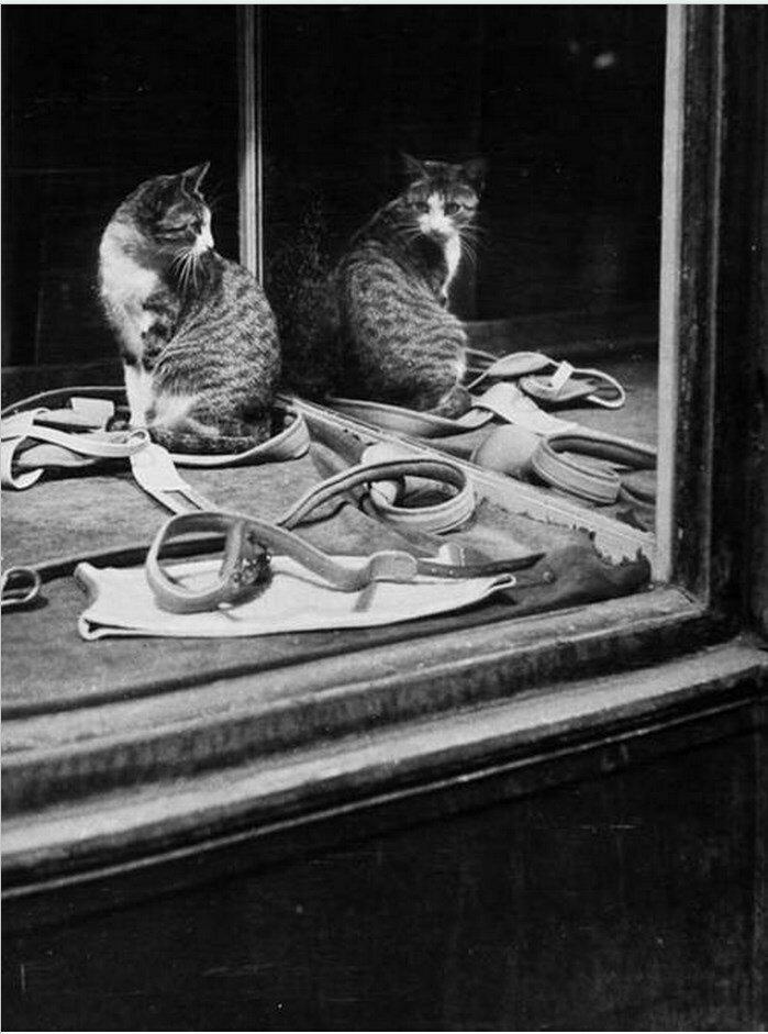 1946. Кошка смотрит в зеркало