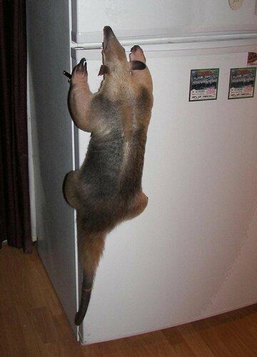 муравьед открывает холодильник