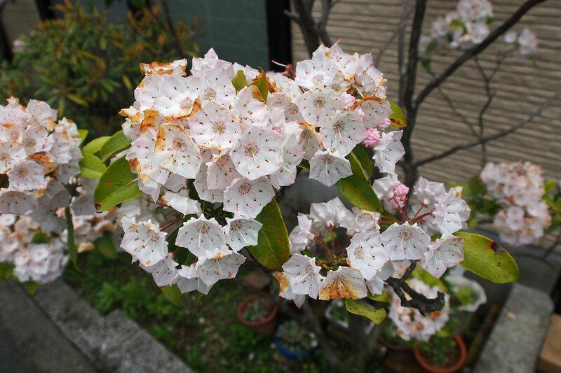 Кальмия широколистная (лат. Kalmia latifolia)