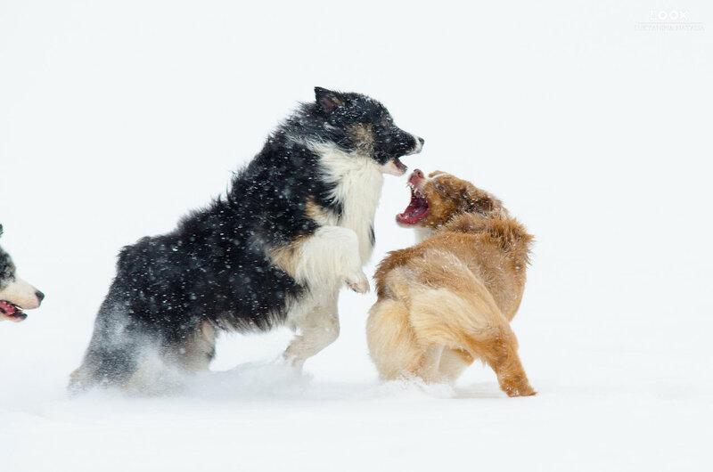 Мои собаки: Зена и Шива и их друзья весты - Страница 6 0_a76d7_2f18b7a8_XL