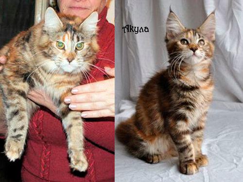Выпускник кот мейн-кун Akyla of MY GOLDEN DJINNY