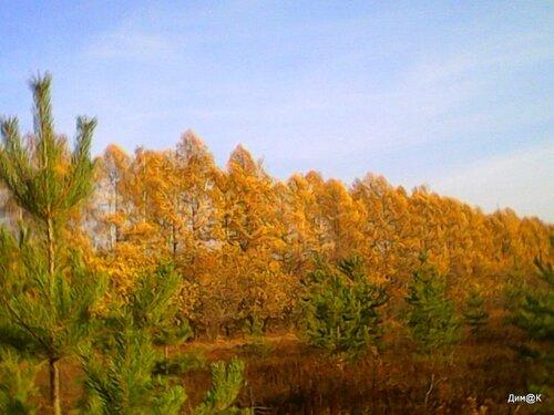 Березы и елки