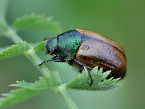 Хрущик луговой (полевой) - Anomala dubia (Scarabaeidae: Rutelinae) Автор: Владимир Брюхов