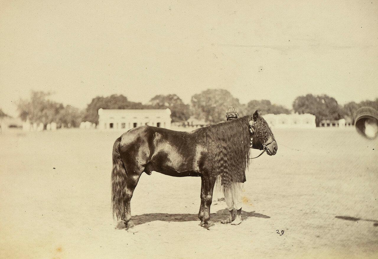 70. Яркендский пони