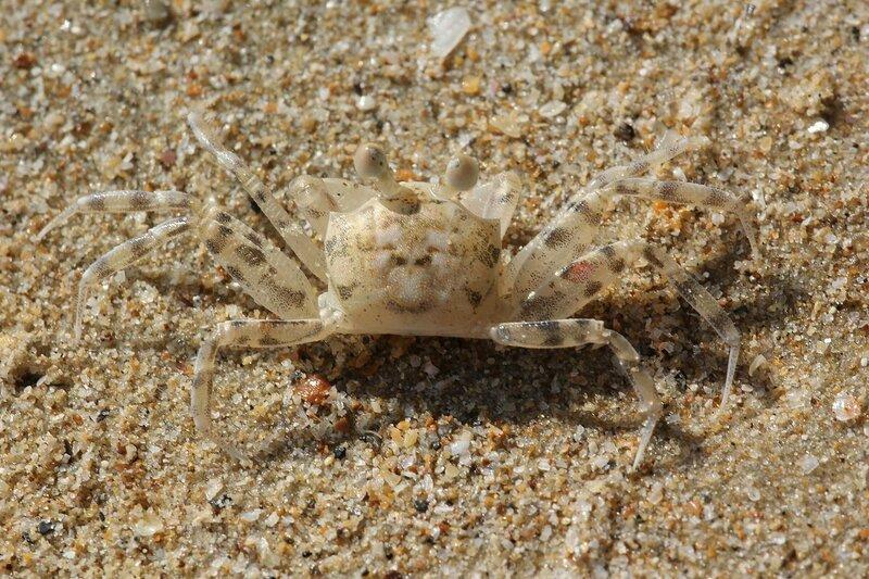 Маленький полосатый краб на песке пляжа Pai Plong Beach (провинция Краби, Таиланд)