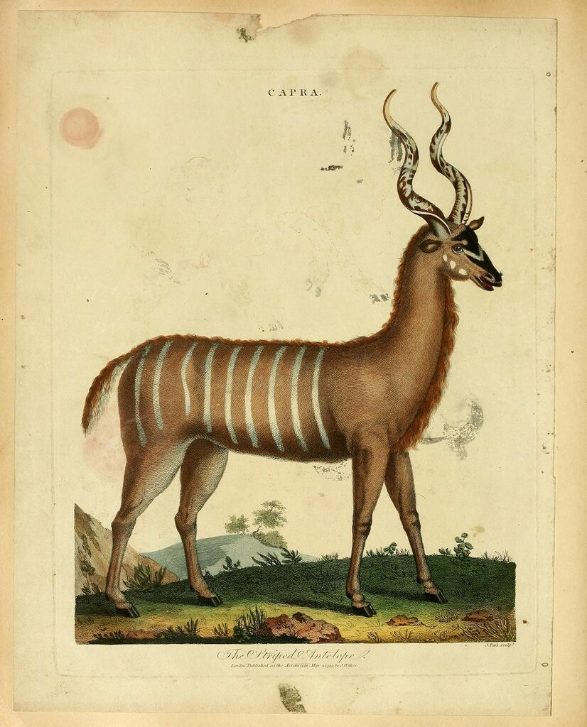 The Striped Antelope. Plate from 'Animals and Birds' (1796) by J.Wilkes.jpg