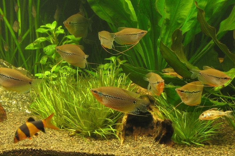 гурами жемчужный в аквариуме начинающего аквариумиста