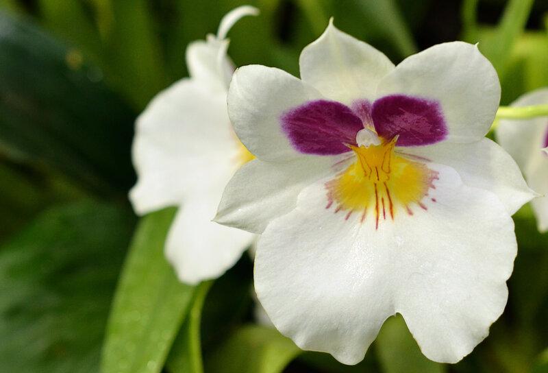 Орхидеи- бабочки, которые не летают Дюймовочка