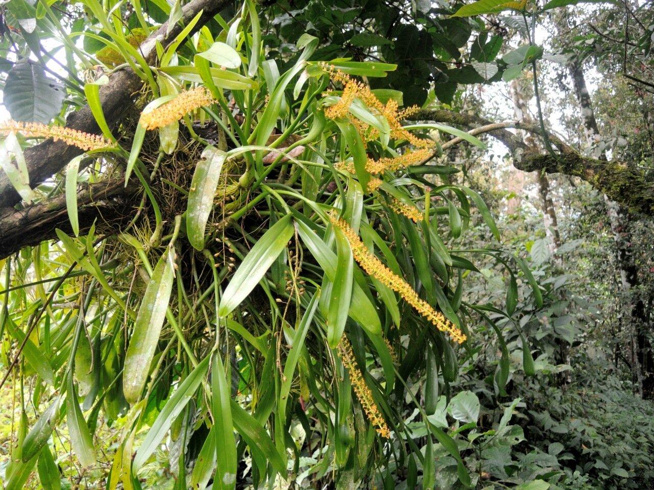 Растения Индонезии