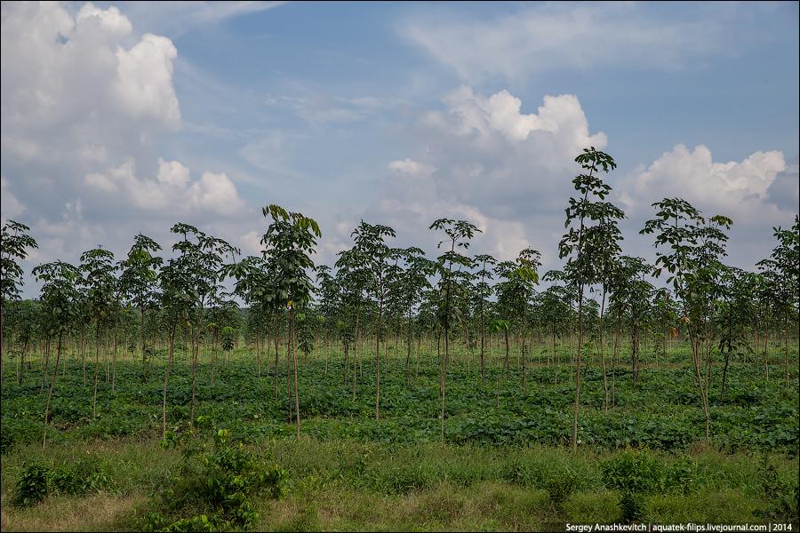 Каучуковые плантации в южном Вьетнаме
