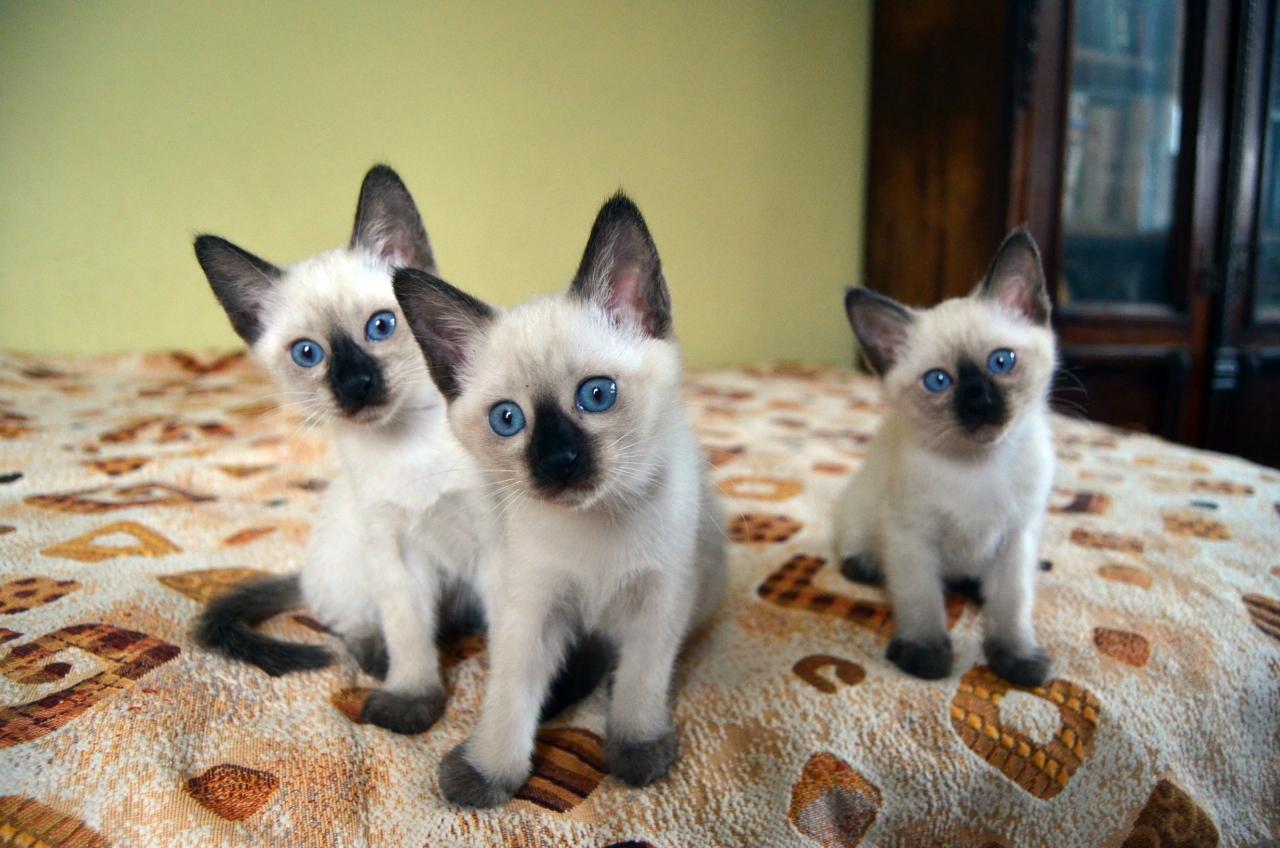 тайская кошка правила ухода