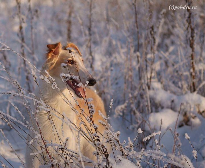 фото русской псвовой борзой