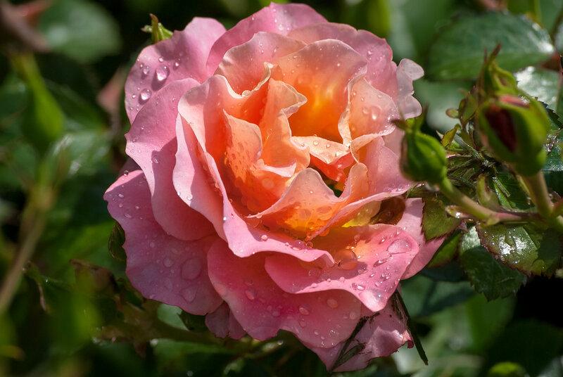 Берегите розы,не губите.Пусть живут и радуют красой.То,что жизнь нам дарит,берегите.Ведь без красоты наш мир пустой.