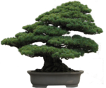 Bonsai-WhitePine.png