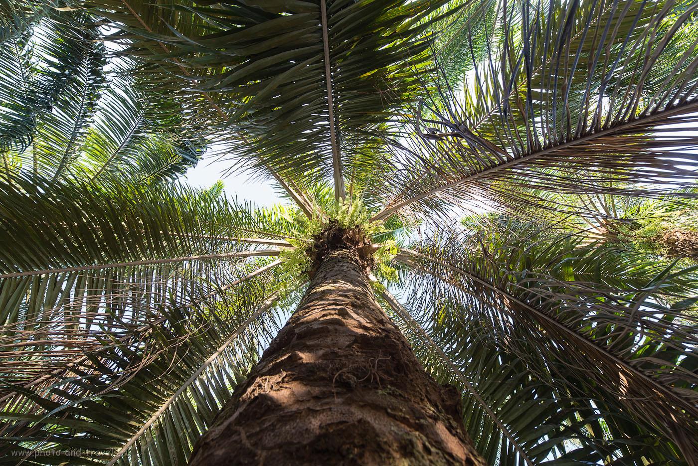 Фото 12. Поездка в провинцию Краби на отдых в Таиланде. Вид на пальму снизу (250, 14, 8.0, 1/40)