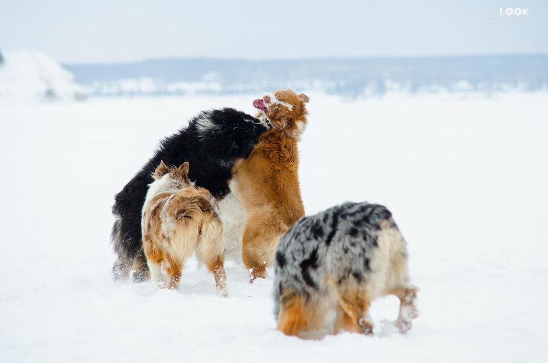 Мои собаки: Зена и Шива и их друзья весты - Страница 6 0_a7746_50fe7b3a_XL