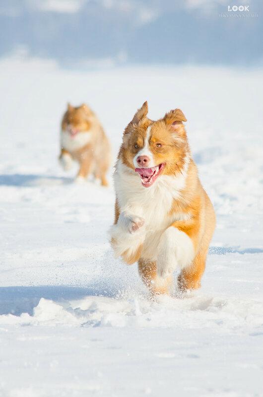 Мои собаки: Зена и Шива и их друзья весты - Страница 8 0_a83a4_f4c3f3dd_XL