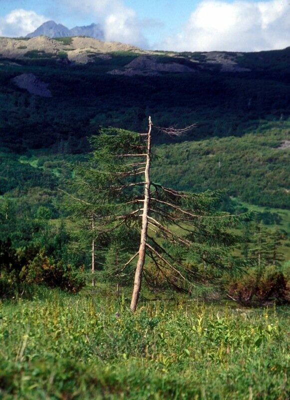 драное древо.jpg