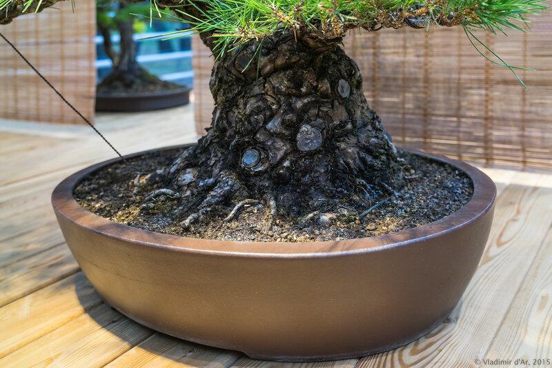 Сосна Тундберна (черная японская сосна). Возраст - около 70 лет.
