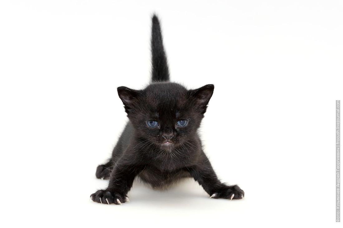 котенок Бомбейской кошки продажа в Москве