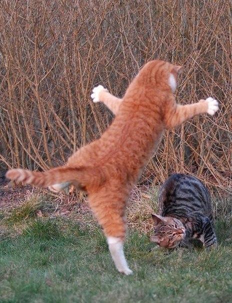 смешные картинки кошка каратистка