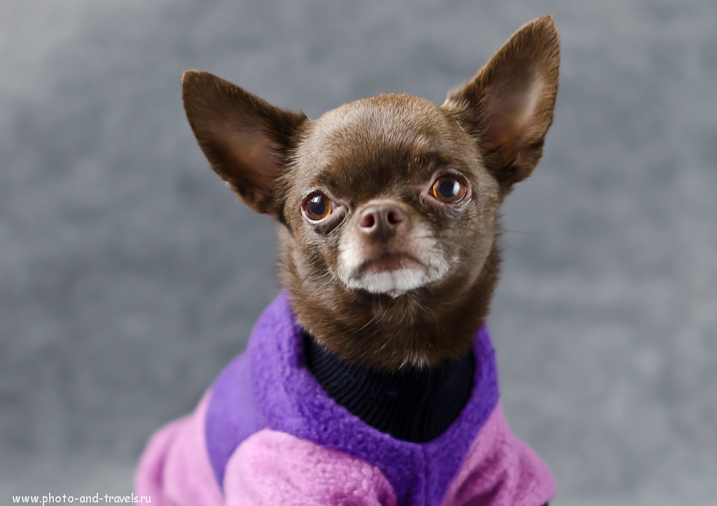 Фото 4. Школа фотографов. Какие настройки применялись при фотографировании собаки дома: (f 2.2; В=1/40 секунды). Тушка - кропнутая зеркальная камера Никон Д5100, объектив - фикс Никон 50/1,4 Г.
