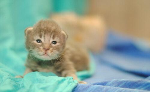 Кошечка мейн-кун Амитас, Котята мейн-кун