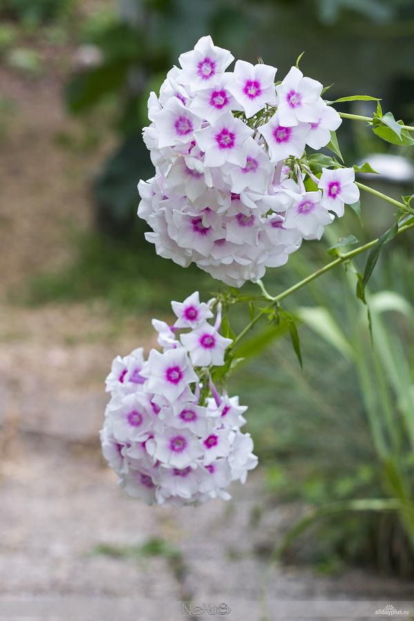 Я люблю все цветы, выпуск 130 | Флокс - «Огненный цветок».