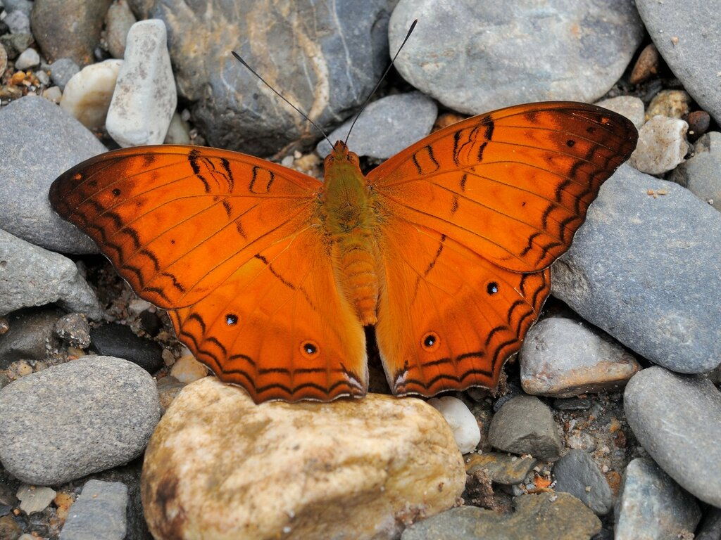 Бабочки Суматры