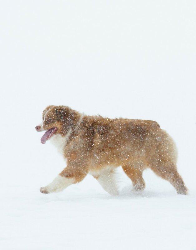 Мои собаки: Зена и Шива и их друзья весты - Страница 6 0_a76cc_3e44d76b_-1-XL