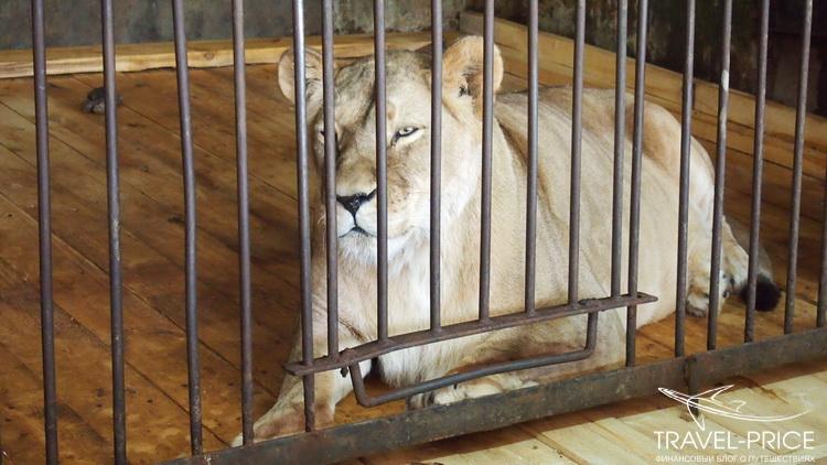 львы в зоопарке Казани