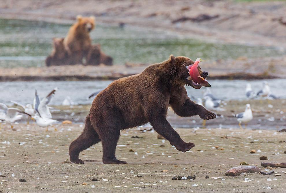 Что может быть лучше для любителей дикой природы, чем медведи на Курильском! Только незабываемые впе