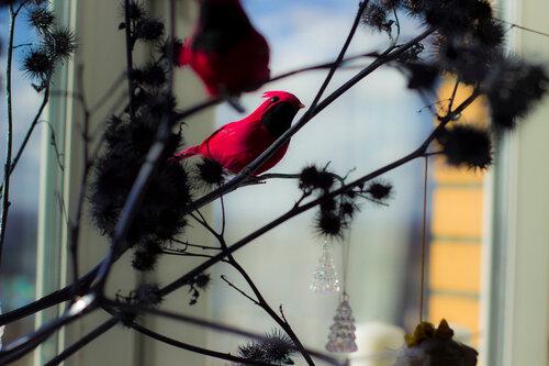 малиновая птица на окне