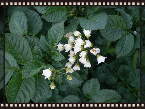 Опять цветение картофеля. ну разве можно такую красоту оборвать?