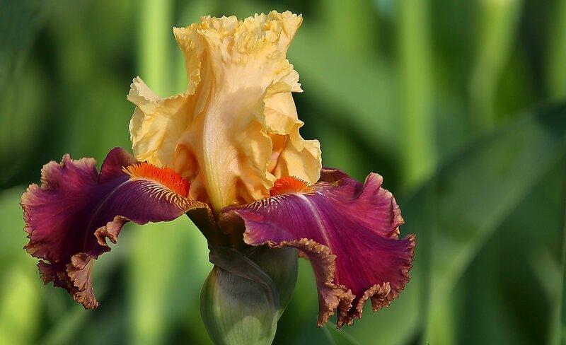 Iris Rich In Spirit (O. David Niswonger)