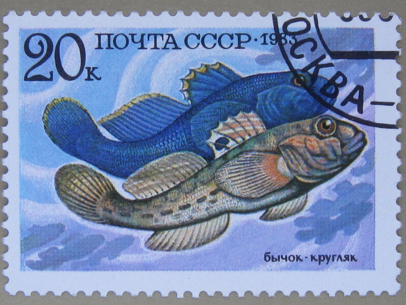 Бычок-кругляк (Neogobius melanostomus).