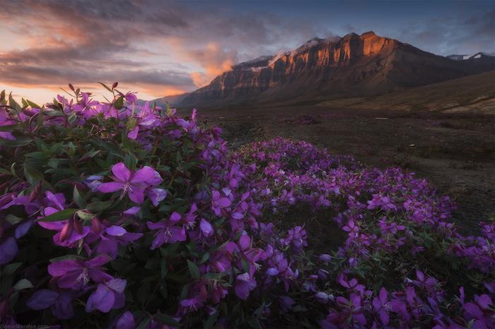Цветущие поля Гренландии.