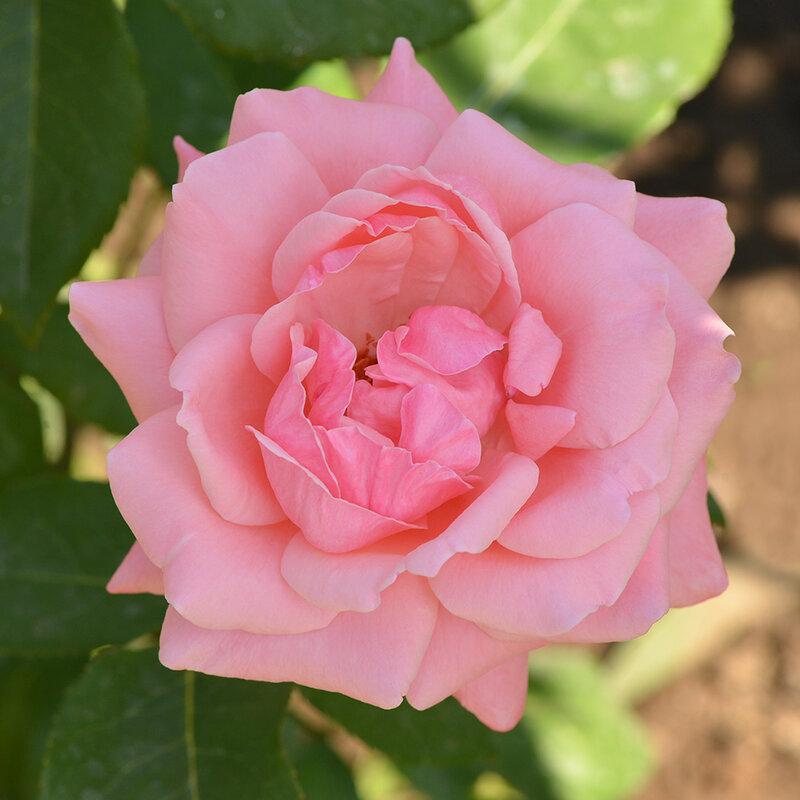 Праздник королев. Красивые сорта роз