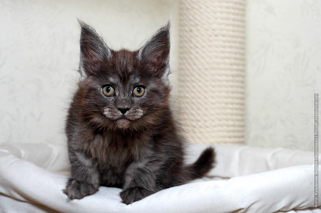 девочка котенок мейн-кун