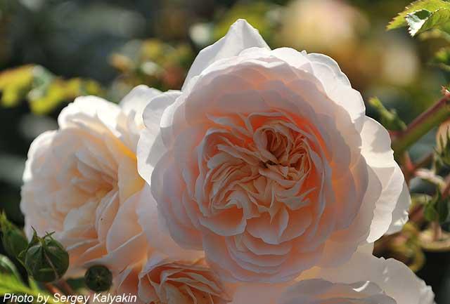 Rosa Crocus Rose (9).jpg