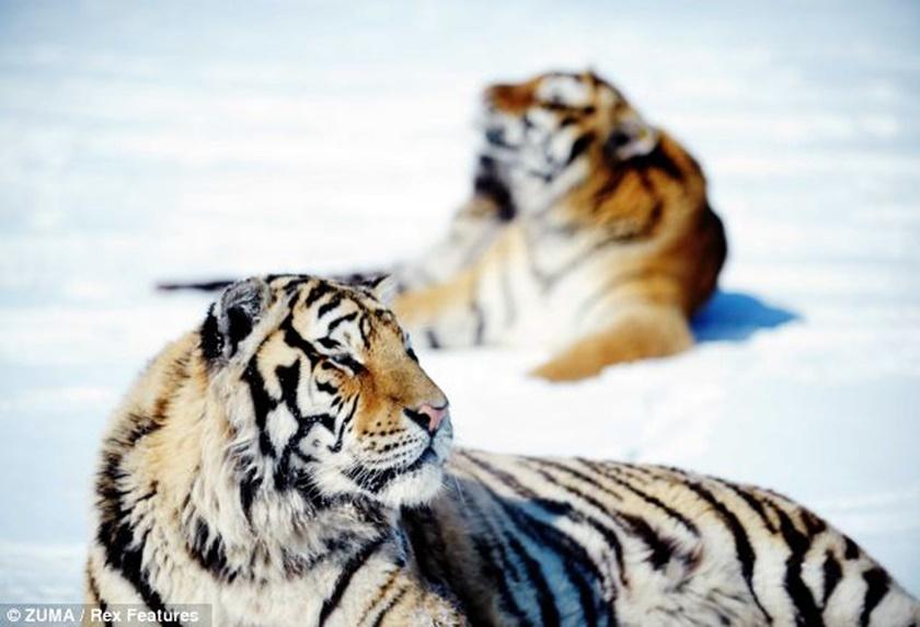 Стая амурских тигров расслабляется после сытного обеда 0 141af3 7a1fdd9e orig