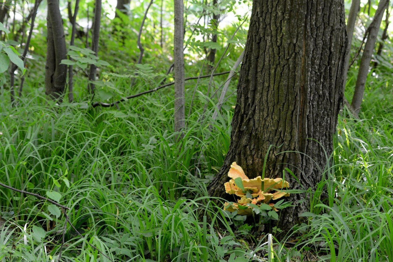 Трутовик серно-желтый (Laetiporus sulphureus). Автор фото: Вячеслав Степанов