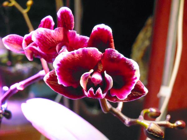 Бордовый фаленопсис. Продолжение цветения.