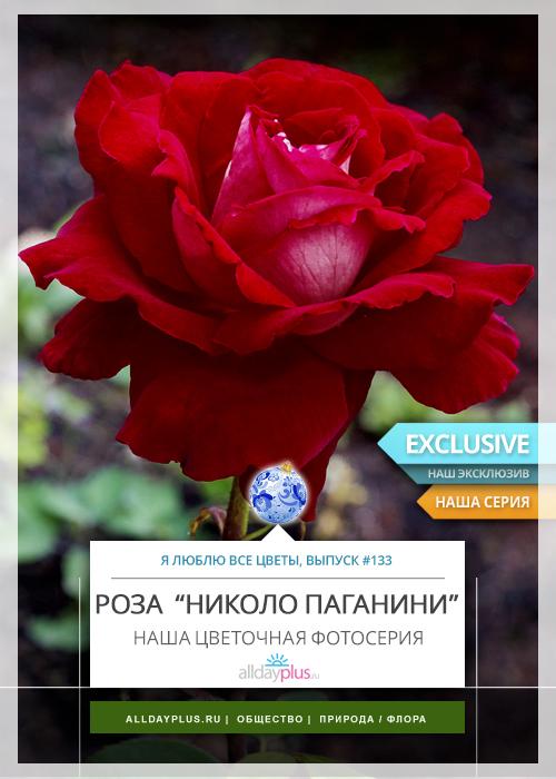 Я люблю все цветы, выпуск 133 | Роза «Niccolo Paganini».