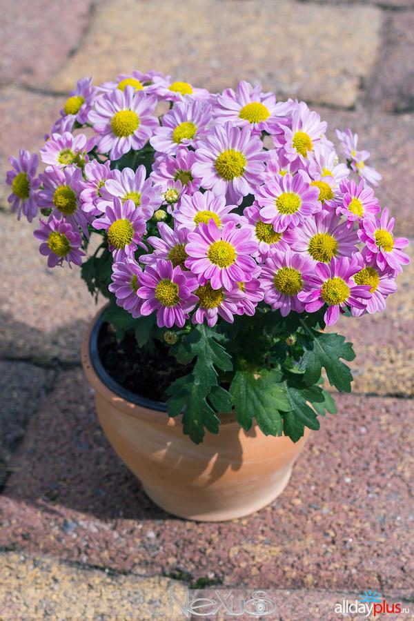 Я люблю все цветы, выпуск 141 | «Хризантема - царица осени».