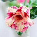 Adenium Obesum Double Flower YELLOW AROMA.