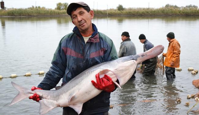 Веслонос — огромная пресноводная рыба, которая обитает преимущественно в реке Миссисипи. Также предс