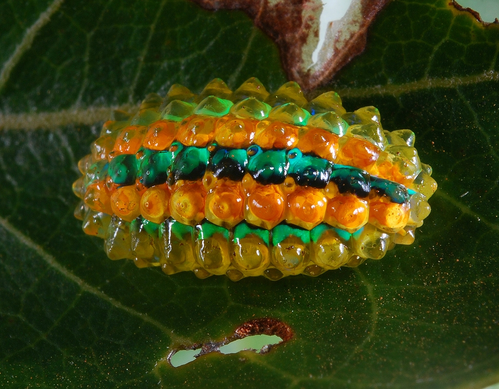 Кристальная гусеница Дальцерида (16 фото)