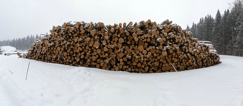 Сплошная санитарная рубка леса очага поражения короеда-типографа